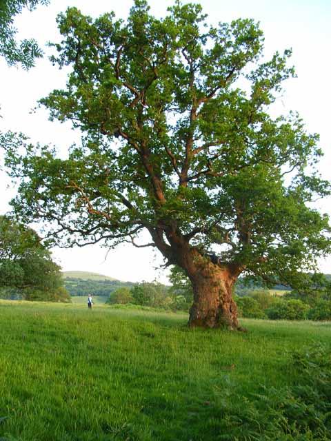 Ancient oak tree, Dan y Parc