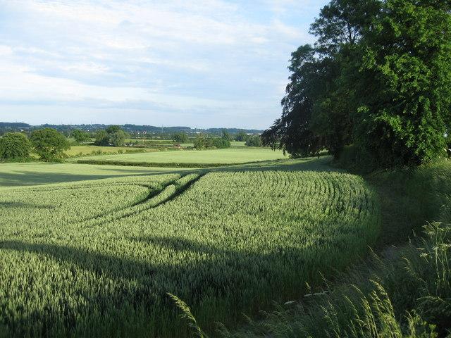 Ripening wheat fields near Barton-under-Needwood, Staffordshire