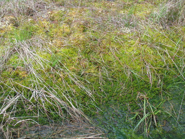 Sphagnum Bogmoss at Whixall Moss