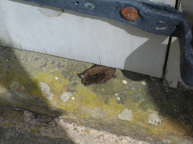 Live Pipistrelle Bat emerging from under barn door