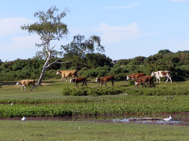 Cattle on the move at Hatchet Pond, New Forest