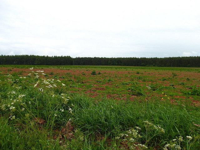 North Piersknowe Plantation