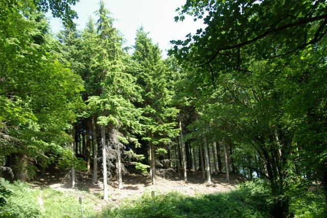 Conifers, Lydcott Wood
