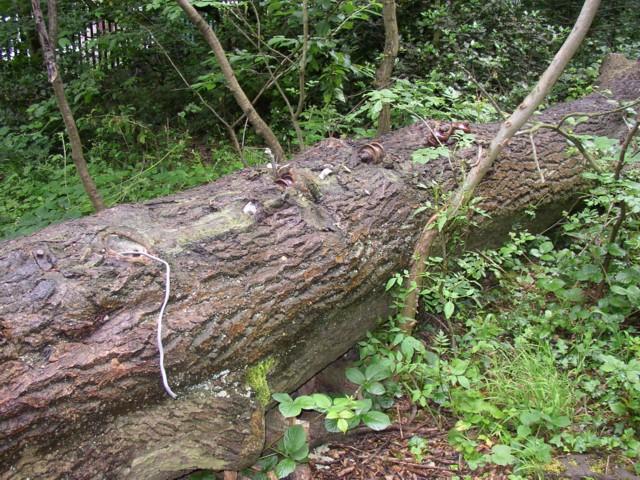 Electrified tree trunk, Baildon