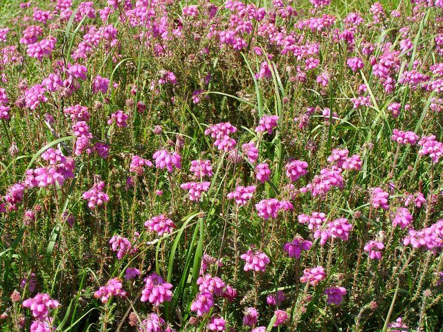 Flowering bell heather, south of the Clumber Inclosure, New Forest