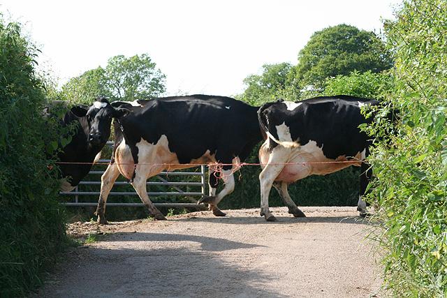 Feniton: Curscombe herd