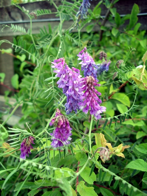 Tufted vetch ' vicia cracca'