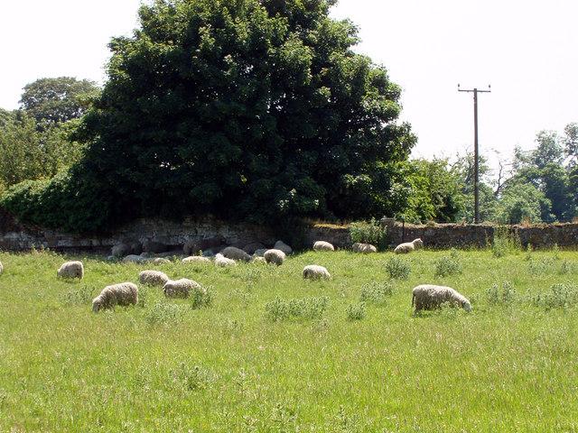 Sheep Grazing at Thornton Abbey