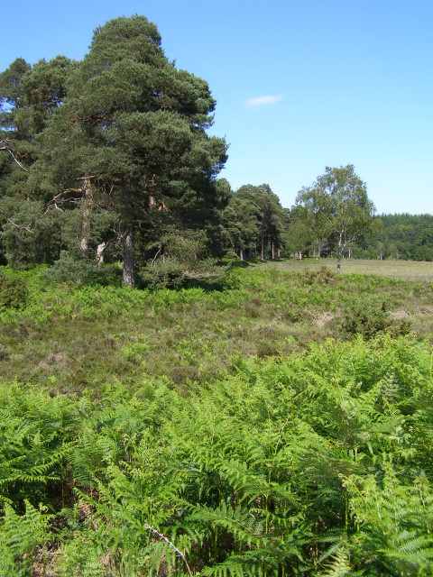 Pines on the edge of the Ferny Knap Inclosure, New Forest