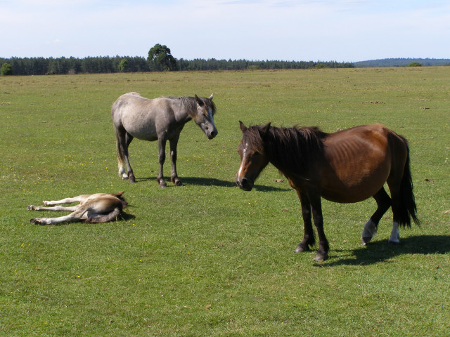 Ponies shading on Wilverley Plain, New Forest
