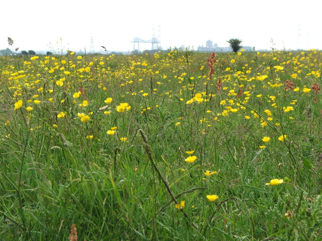 Wildflowers at Greatham Creek