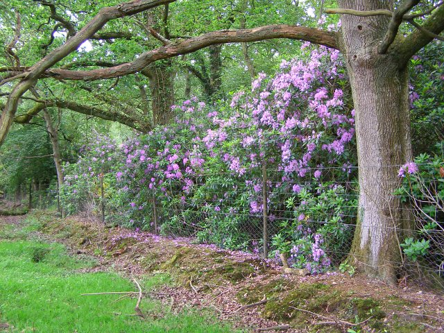 Rhododendron on the northern boundary of the Pondhead Inclosure, New Forest