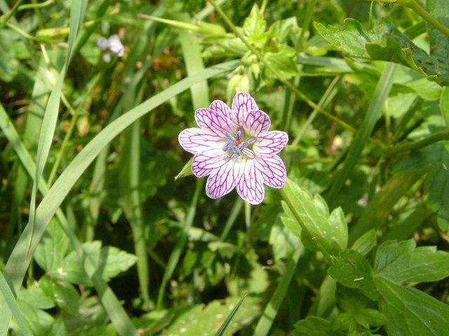Geranium versicolor at Bozomzeal