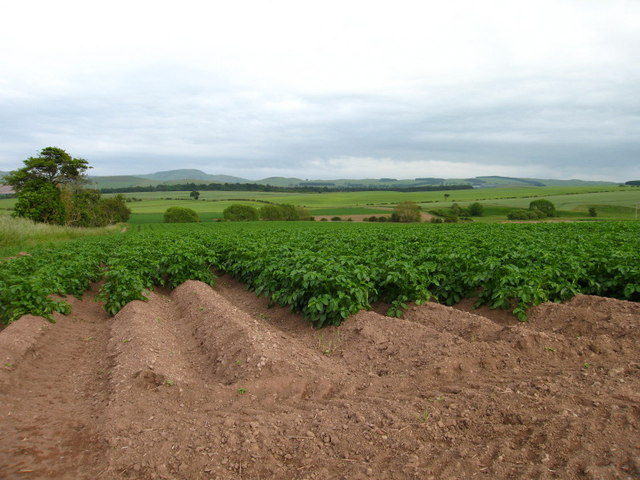 Field of Potatoes at Whinnyhouse, near Morebattle