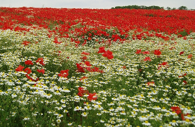 Poppy field near Barnsdale Bar