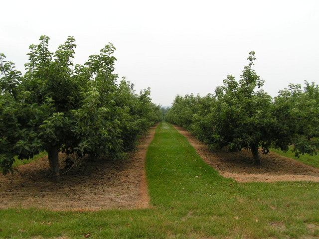 Apple orchard, near Golden Green