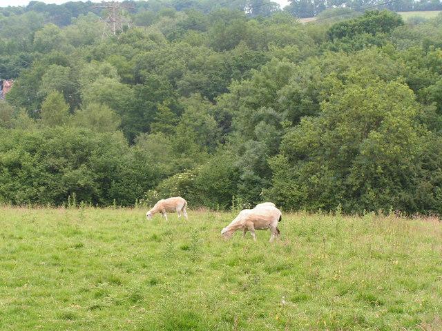 Sheep grazing near Capel.