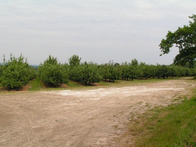 An Orchard near Tudeley.