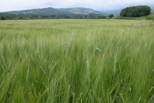 Field of Barley, near Bronydd Farm