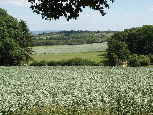 Bean field near Shotover House