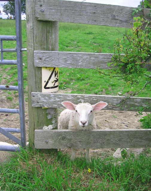 Danger: electric lamb