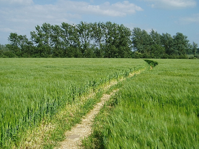 Barley field near Dedham