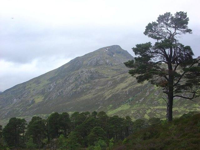 Caledonian Pine tree