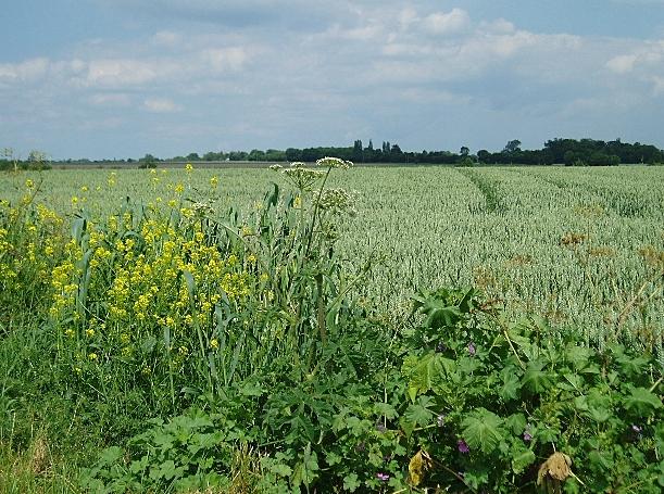 Wheat growing near Kenton