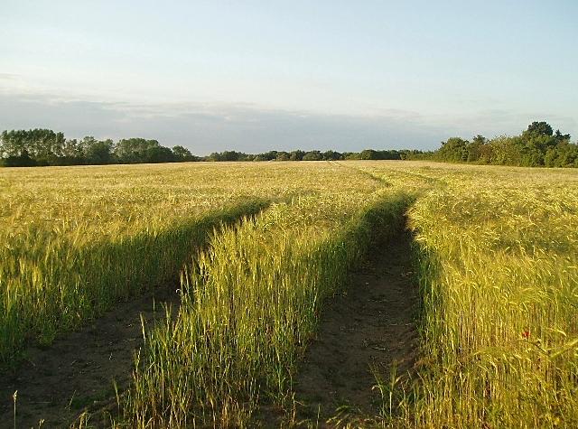 Barley growing near Rattla Corner