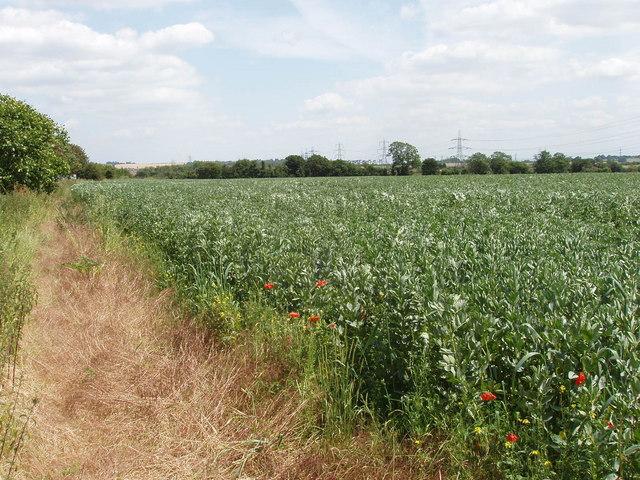 Bean field, Sandford