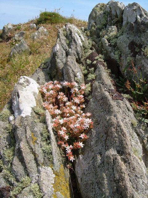 Stonecrop near Warren Point