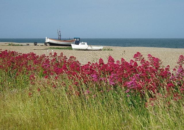 Red Valerian, Aldeburgh beach