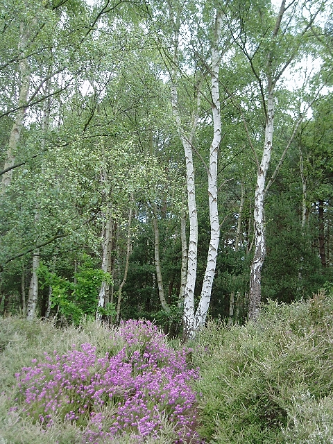 Bell heather and birches