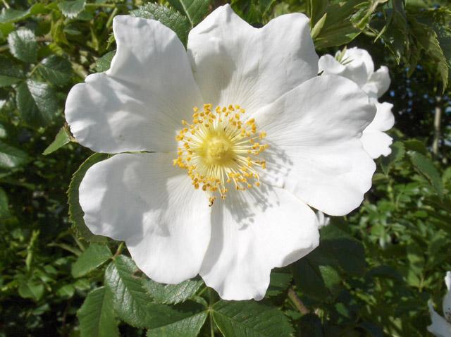 A white dog rose