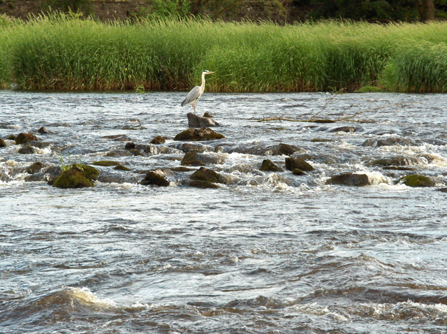 Heron, River Forth