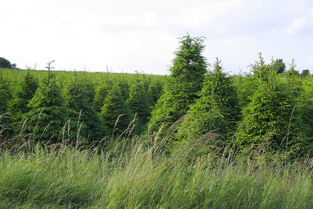 Christmas trees at Quarry Farm near Ketton