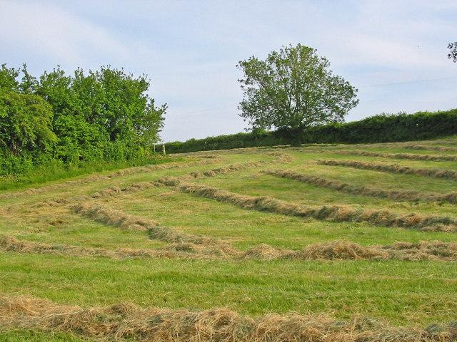 Hay swaths Wimborne St Giles Dorset