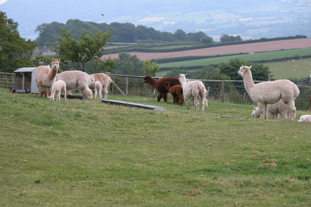 Alpaca Farming in Herefordshire