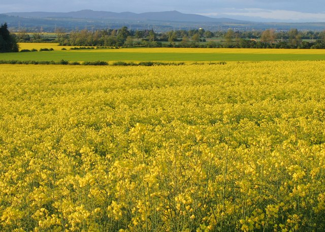 Rape fields on the Carse of Gowrie
