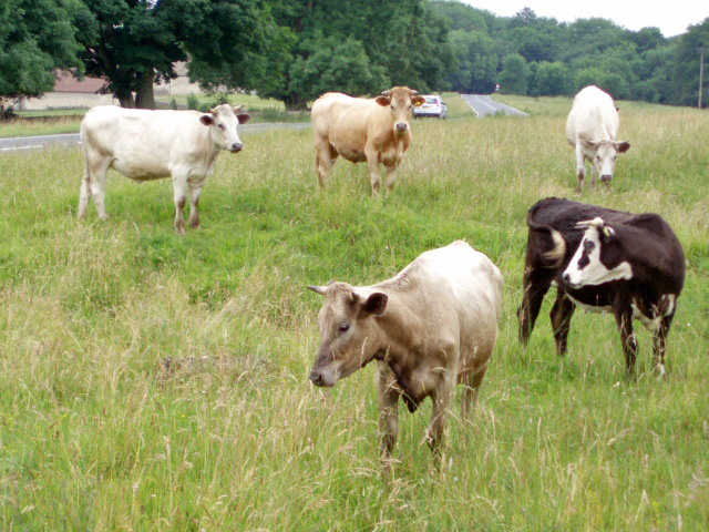Cows on Selsley Common