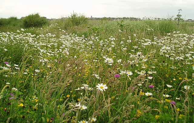 Wildflowers, Walberswick