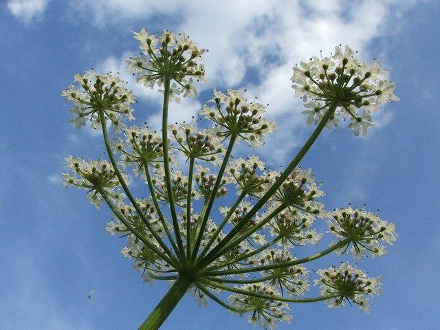 Heracleum sphondylium (Hogweed)