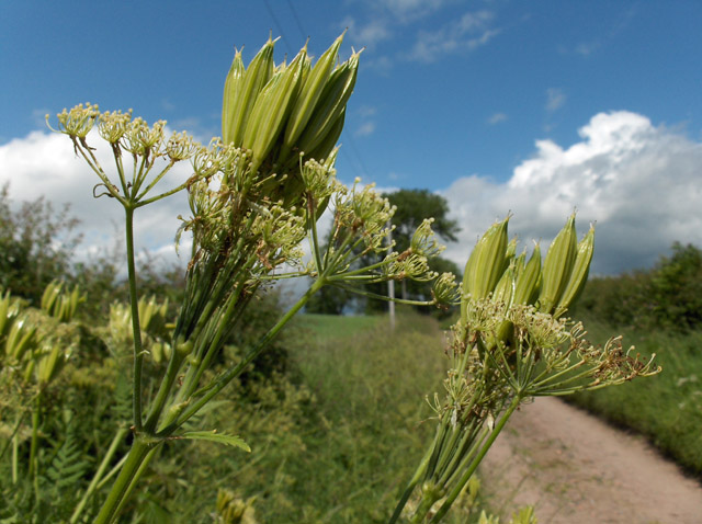 Sweet cicely seed pods