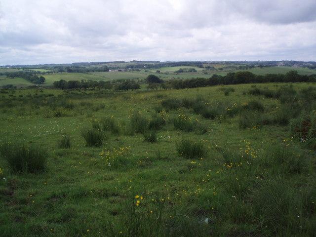Field of buttercups.