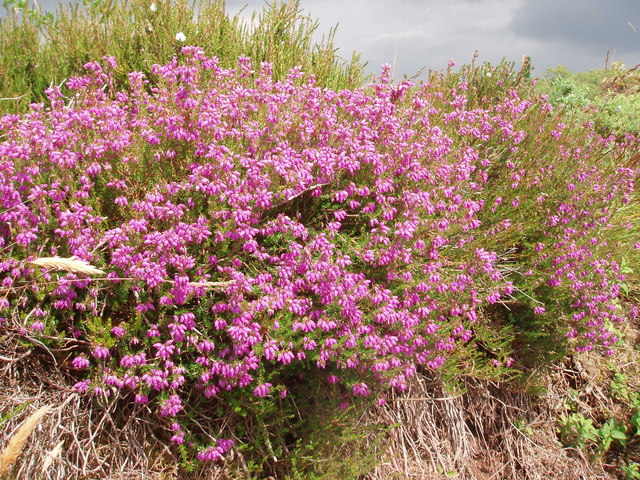 Heather in lane, Lower Porkerris