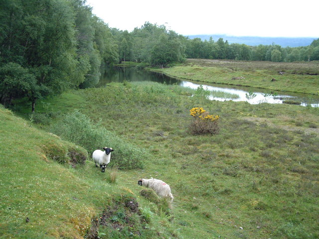 Sheep above the river