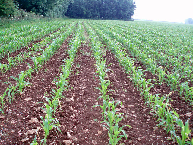 Lines of maize