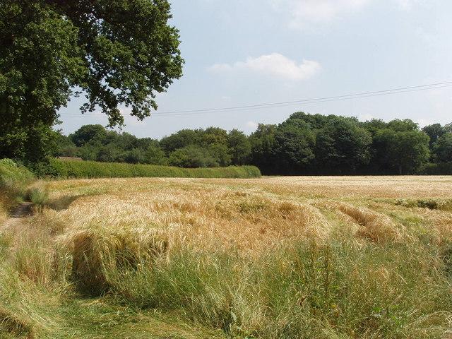 Ripening barley, Hyde Heath