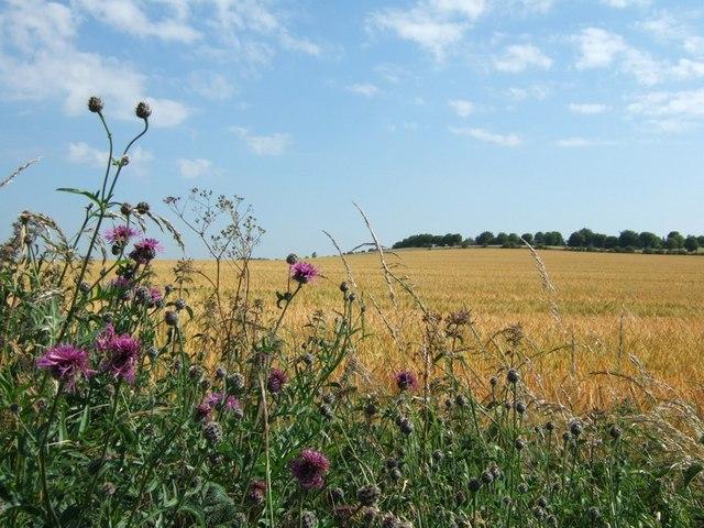 Barley and Knapweed flowers