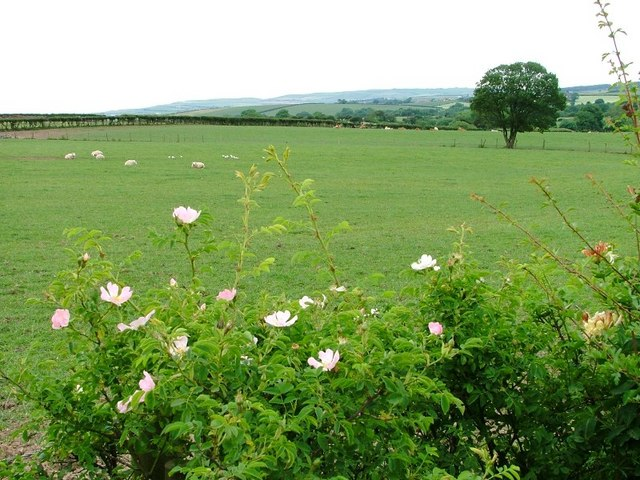 Dog Rose and Sheep, South Lane Farm